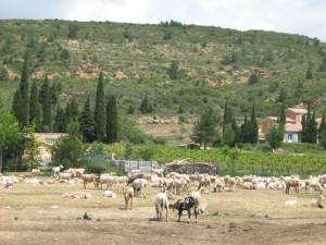 Moutons d'Albas