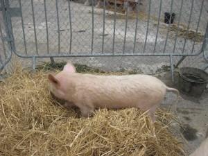 Le porc - Petting Zoo 2