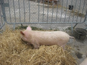 Le porc - Petting Zoo 2