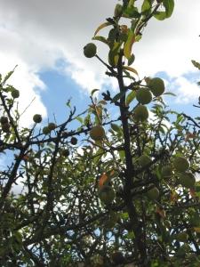 pommes minuscules