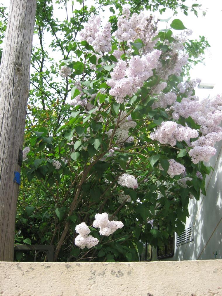 Lilas (Lilacs)