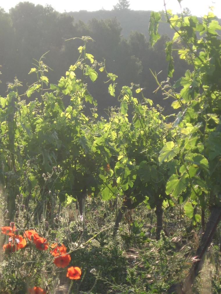 Poppies scattered in a vineyard
