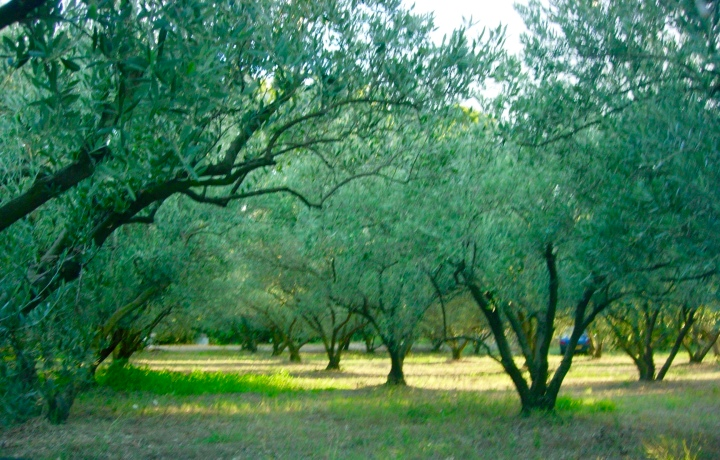 Olive grove where we parked